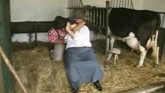 How to whole milk a cattle